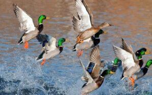 У найближчі вихідні на Івано-Франківщині стартує сезон полювання на пернату…