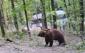 Як прикарпатський ведмідь живе на Хмельниччині. ФОТО