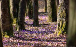 Під Мукачевом почалося масове цвітіння шафранів. ФОТО