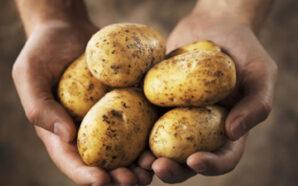 Уряд планує програму держпідтримки картоплярства