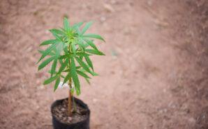 На Прикарпатті засудили чоловіка, який вирощував наркотики у горщиках