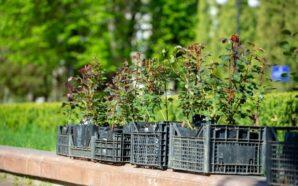 Троянди для матусь: у парку Франківська висаджують квіти. ФОТО
