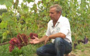"""""""Це — азарт"""". Ярослав Гайдей вирощує понад 100 сортів винограду…"""